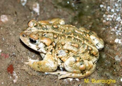 Photo credit M. Burroughs www.fws.gov/nevada/nv_species/amargosa_toad.html
