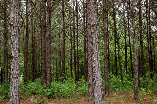 Alabama Pines Photo credit Carol Highsmith, Library of Congress http://www.loc.gov/item/2010640176/